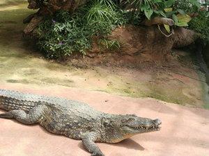 crocodile ferme au crocodile