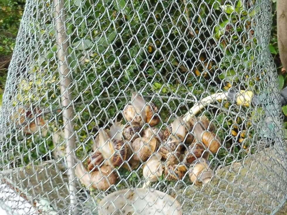 escargot à jeun1