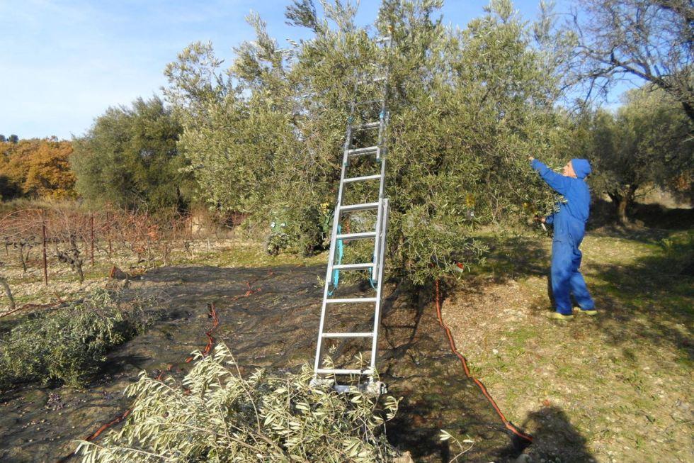 récoltes olives3