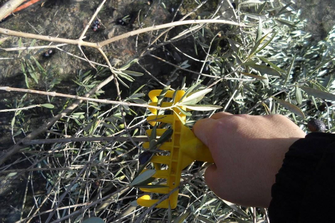 récoltes olives4