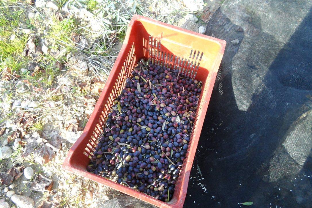 récoltes olives5
