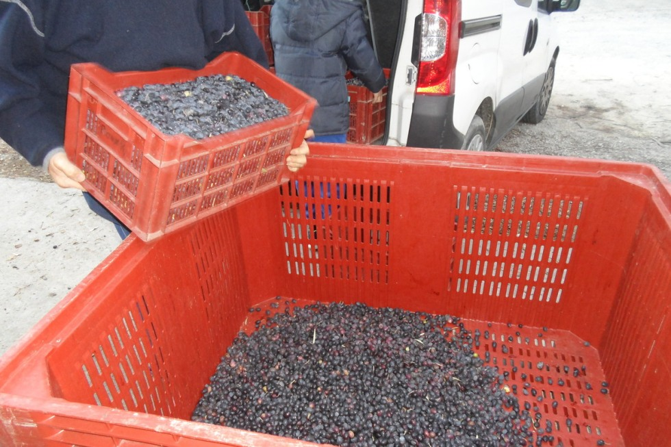 récoltes olives9