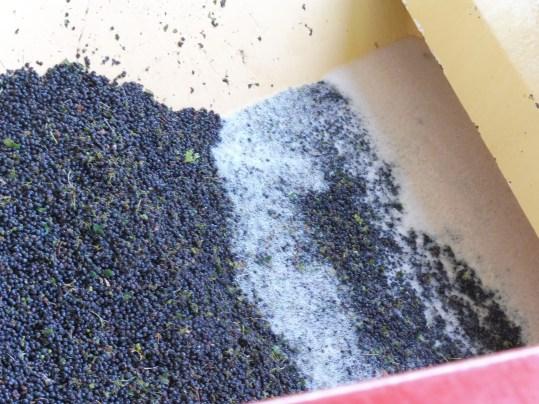 Raisins ramassés à la machine. On voit le jus et la mousse.